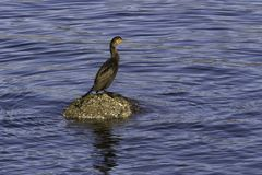 Cormorant standing on a barnacle covered rock in the sea stock photos