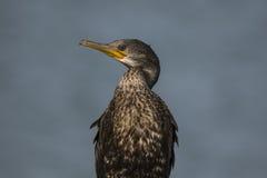 Cormorant stante Fotografie Stock