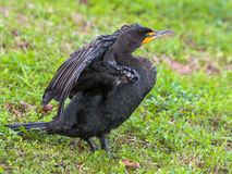 Cormorant Stretching Royalty Free Stock Photography