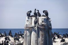 Cormorant sull'accatastamento del mare fotografia stock