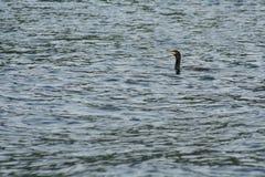 Cormorant sull'acqua Immagini Stock