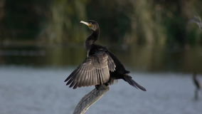 Cormorant sunning stock video footage