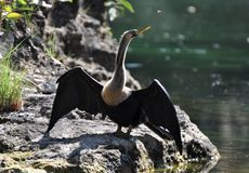 Cormorant in Mexico royalty free stock photo