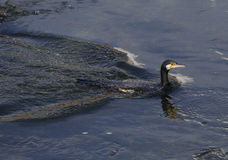 Cormorant surfacing Royalty Free Stock Images