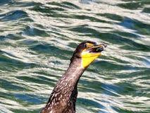 Toronto Lake the cormorant swallowed fish 2017 stock images