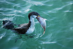 Cormorant swallowing snapper. Cormorant trying to swallow a whole snapper Stock Photography