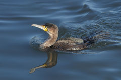 Cormorant swiming Royalty Free Stock Image