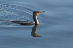 Cormorant swimming Stock Photography