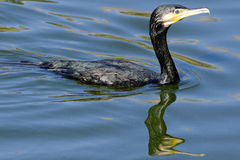 Cormorant swimming. A cormorant which is an excellent fish predator, and is used in some places by fisherman to catch fish for human consumption royalty free stock images