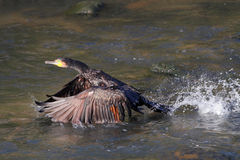 Cormorant takeoff Royalty Free Stock Photography