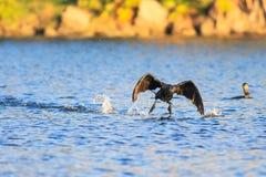 Cormorant Stock Photography