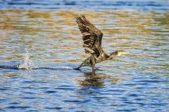 Cormorant. While a cormorant takes flight sollendato splashing water Stock Photos