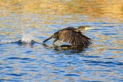 Cormorant. While a cormorant takes flight sollendato splashing water Royalty Free Stock Photos