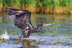 Cormorant takes off from water surface Royalty Free Stock Images