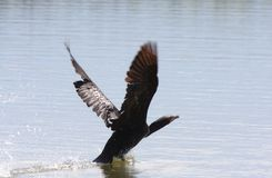 Cormorant taking flight Stock Photos