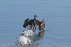 Cormorant taking off Stock Image