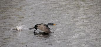 Cormorant taking off Stock Photography