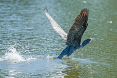Cormorant taking off Royalty Free Stock Image