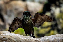 Cormorant taking a sunbath. Beautiful cormorant in Norway taking a warm sunbath Stock Image