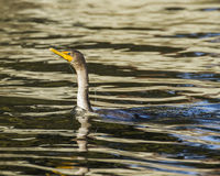 Cormorant tangled in fishing line Stock Photos