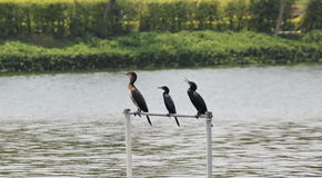 Cormorant. Three cormorant  are standing Desiccate Royalty Free Stock Image
