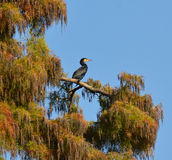 Cormorant on the tree. Cormorant sentinel on the foliage tree Royalty Free Stock Photos