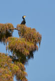 Cormorant on the tree. Cormorant singing on the tree Royalty Free Stock Image