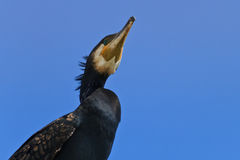 Cormorant in a tree Royalty Free Stock Image