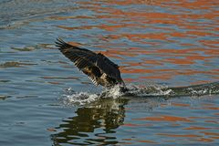 Cormorant - un aviateur parfait, nage et plonge bien, plumage n'est pas imperméable images stock