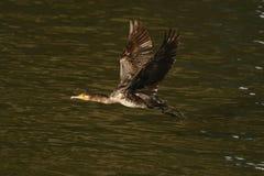 Cormorant - un aviateur parfait, nage et plonge bien, plumage n'est pas imperméable image libre de droits