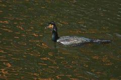 Cormorant - un aviateur parfait, nage et plonge bien, plumage n'est pas imperméable photographie stock