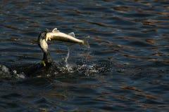 Cormorant - un nageur et un chasseur, il a le beau plumage noir photos stock