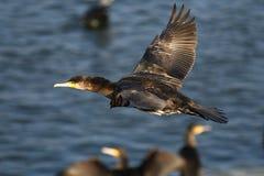 Cormorant - un nageur et un chasseur, il a le beau plumage noir photo stock