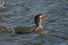 Cormorant - un nageur et un chasseur, il a le beau plumage noir image libre de droits