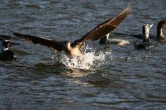 Cormorant - un nageur et un chasseur, il a le beau plumage noir image stock