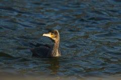 Cormorant - un nageur et un chasseur, il a le beau plumage noir images stock