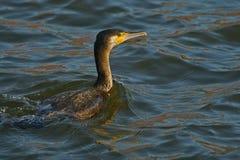 Cormorant - un nageur et un chasseur, il a le beau plumage noir photo libre de droits