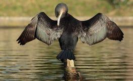 Cormorant. Royalty Free Stock Photo