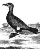 Cormorant. Vintage engraved illustration. Diderot and d'Alembert encyclopedia (1751-1780 Stock Photography