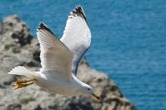 Cormorant volant contre la vue de mer Photos stock