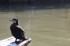 Cormorant Royalty Free Stock Photo