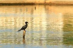 Cormorant. The cormorant waiting fir fish royalty free stock photo