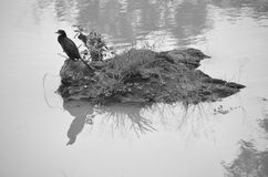Cormorant - water bird Royalty Free Stock Image