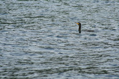 Cormorant on the water. A cormorant swims on the sea Stock Images