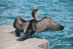 A cormorant on the waterfront of Lake Michigan, Chicago, Illinoi Royalty Free Stock Photos