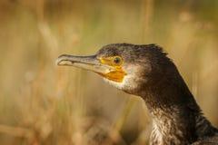 Cormorant, wild in the Ebro Delta Royalty Free Stock Photo
