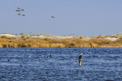 Cormorant and wild geese in the swamp. Cormorant and wild geese at oasis Stock Image