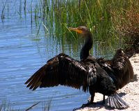 Cormorant with Wings Open. Cormorant on the edge of the marsh with it's wings open Stock Image