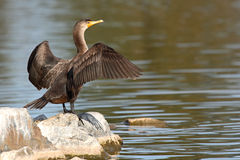 Cormorant With Wings Spread. A Double-crested Cormorant resting with its wings spread in Colorado Royalty Free Stock Photos