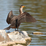 Cormorant With Wings Spread. A Double-crested Cormorant with its wings spread along a lake in Denver, Colorado Stock Photography